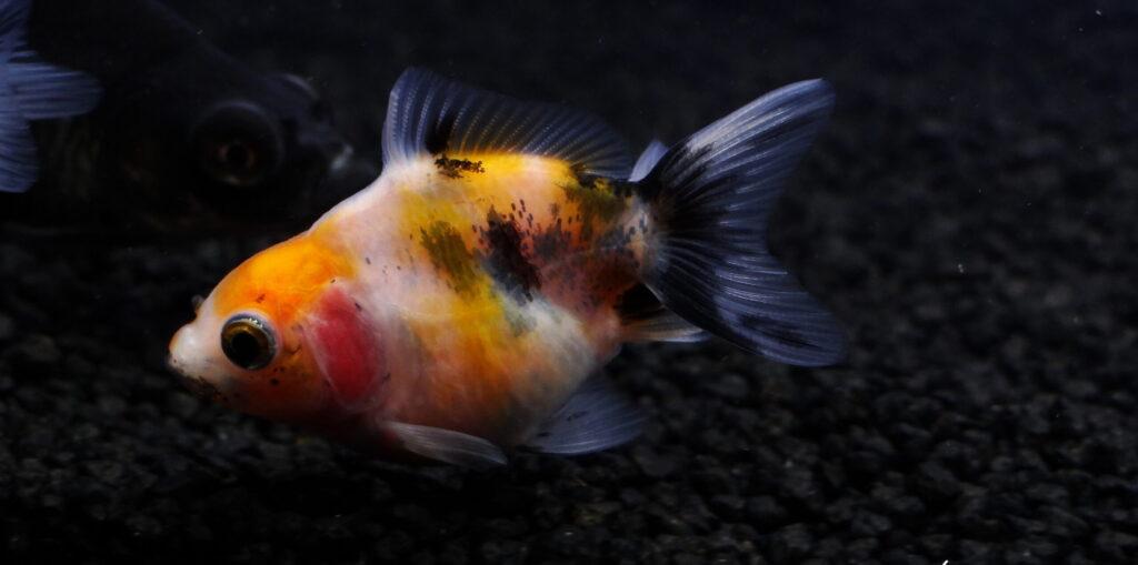 Ryby roślinożerne welony
