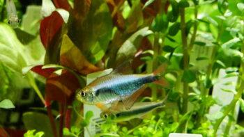 Hyphessobrycon margitae
