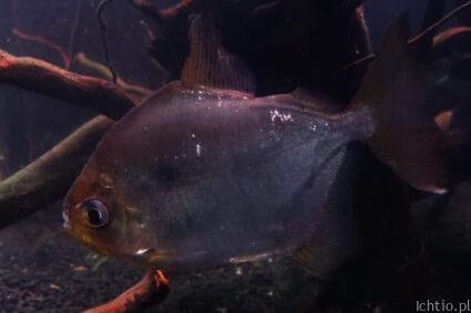 Ryby roślinożerne