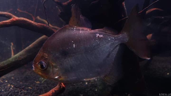 Ryby roślinożerne Płaskobok
