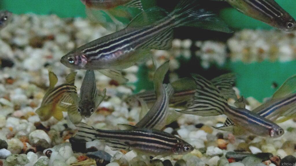 Ryba danio sklep Mamut