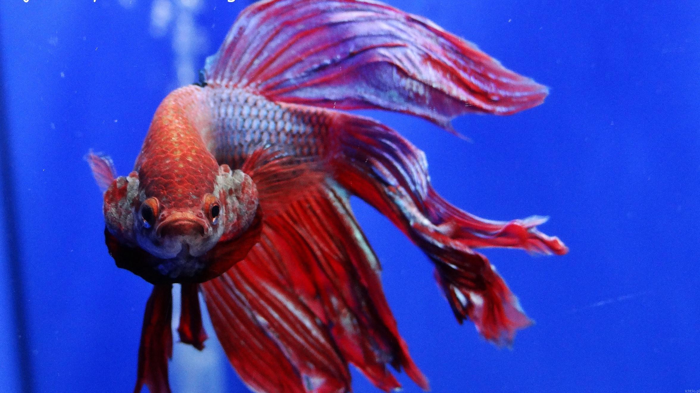 agresja u ryb