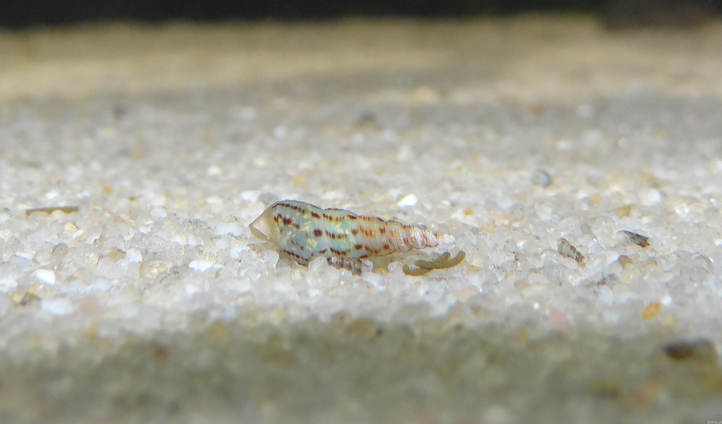 ślimaki w akwarium